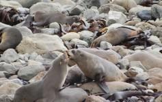 Ohau Seal Colony